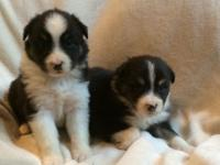 We have two black white and copper six week old male