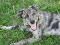 Australian Shepherd - Rainey - Small - Young - Female -