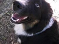 Australian Shepherd Black Tri Sky blue eye girl Rare (1