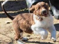 Australian Shepherd - Ready Sat., Mar. 9th - Medium -