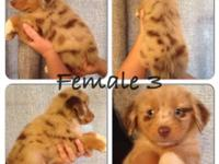 Beautiful red merle puppy for sale. She will be ready