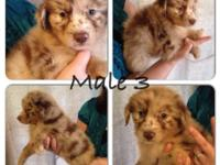 Red Merle Male #3. BEAUTIFUL puppy. He has lots of dark