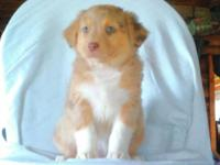 Red Merle male, born 9/19/2014. Tail is docked, has