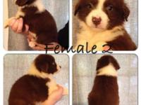 Red tri female puppy for sale. She has a full white