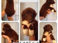Red Tri Male puppy for sale. He is so sweet and