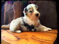 Barr T Ranch Australian Shepherds. Bred for