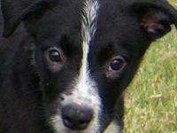 Australian Shepherd - Roosevelt Id - 23930 - Medium -