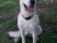 Australian Shepherd - Sheba(beautiful Blue Eyes!) -