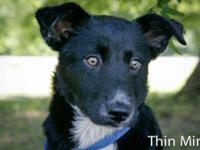 Australian Shepherd - Thin Mint - Medium - Baby -