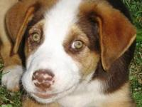 Australian Shepherd - Toby - Medium - Young - Male -