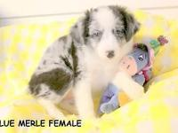 LITTER NO. 1: BORN 08-15-14, ONE TOY AUSSIE BLUE MERLE
