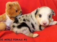 TRASH NO. 1: BORN 08-24-14, TOY AUSSIE BLACK TRI FEMALE