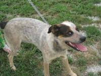 Australian Shepherd - Zeke - Large - Adult - Male -