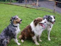 Family raised, very friendly and social. Blue Merle's,