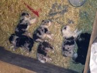 6 Adorable pups for sale, 4 females, 2 males. 1 Black