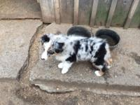 Last young puppy of the trash, blue merle male.