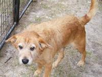 Australian Terrier - Buddy - Medium - Young - Male -