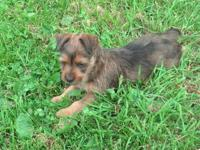 Australian Terrier Puppies for