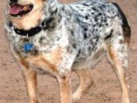Australian Cattle Dog (Blue Heeler) - Arya - Medium -