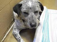 Australian Cattle Dog (Blue Heeler) - Frog - Medium -