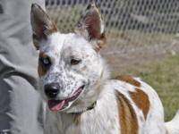 Australian Cattle Dog (Blue Heeler) - Grizzly - Large -