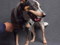Australian Cattle Dog (Blue Heeler) - Tj - Medium -