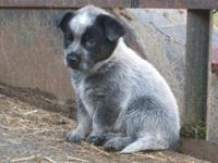 Australian Cattle Dog puppies.Registered. Born July 30