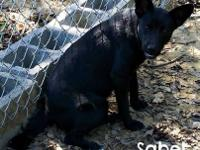 Australian Kelpie - Sabel - Medium - Young - Female -