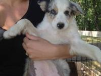 I have a blue merle australian shepherd for sale. 400