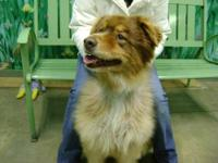 Australian Shepherd - Cocoa - Large - Adult - Female -