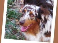 Killian is a 8 month old neutered male Mini Aussie.