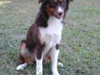 Rue is an 8 month old mini Aussie trying to find his