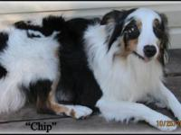 Chip- is a 2 year old Mini Aussie sterilized male