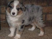 I have 1 aussie pups left that is ready for he new home
