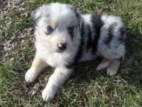 AKC and ASCA registered litter. 3 blue merle males, 1