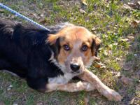 Australian Shepherd - Sicily - Large - Adult - Female -