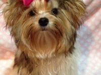Introducing Vicki, a Golddust Yorkshire Terrier a la