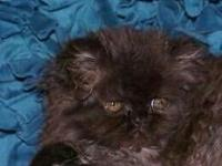 I have a beautiful litter of Purebred Persian. I have 1