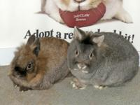 Autumn and Grover a a bonded pair of lionhead rabbits