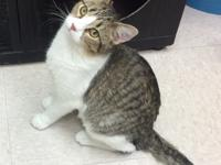 Domestic Short Hair, female, 8 months old, 6lbs.