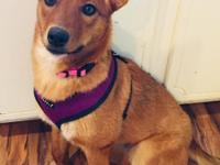 Ava is a 10 month old, 23 lb Heeler/Kelpie mix. She is