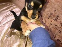 Ava is a tricolor Chi/Terrier puppy who was born on Feb