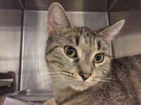 Ava is an adult female tabby that is looking for a new