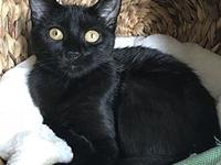 Ava's story Ava is a gorgeous, sleek black kitten with