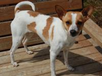 Ava is a Jack Russell/Chihuahua mix who was born