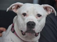 Ava's story Ava is a 4 year old pit bull. She has lived