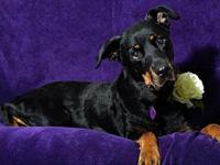 Ava's story All you Rottie lovers, 7 yr. old Ava is now