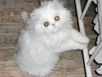 GORGEOUS TOP-OF-THE-LINE PURE WHITE PERSIAN KITTEN BORN