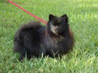 For sale very fluffy solid black Pomeranian female .