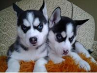 Animal Type: Dogs Breed: Siberian Husky Available Male